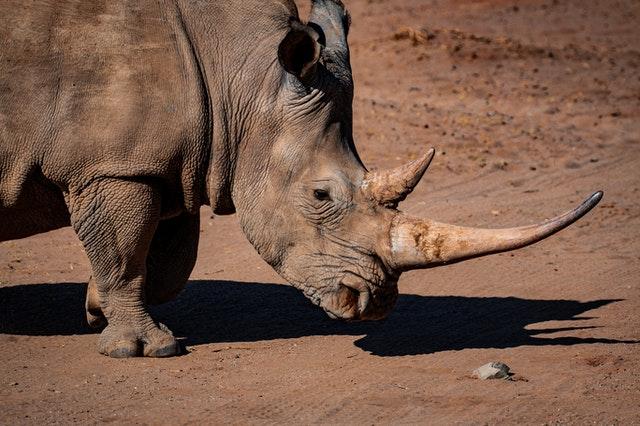 Rhinoceros as an endangered species